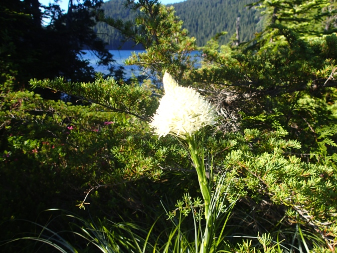 Bear Grass At Mowich Lake