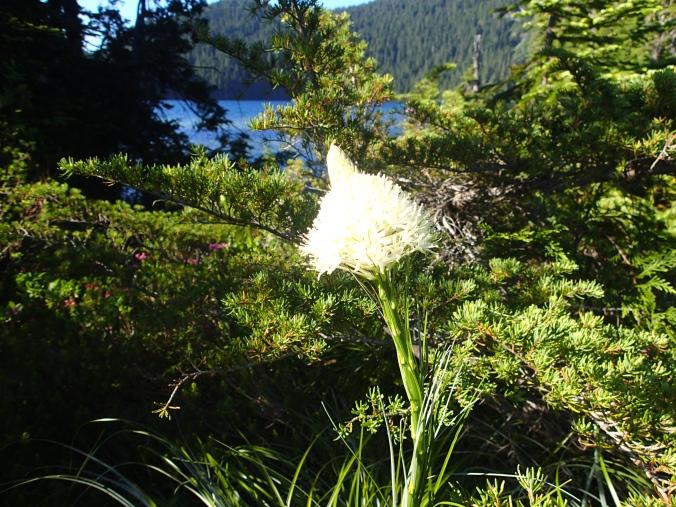 Bear Grass At Mowich Lake